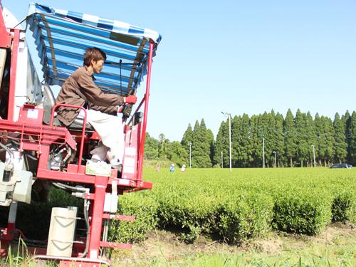 畝に沿って移動しながら、茶葉を刈り取ります