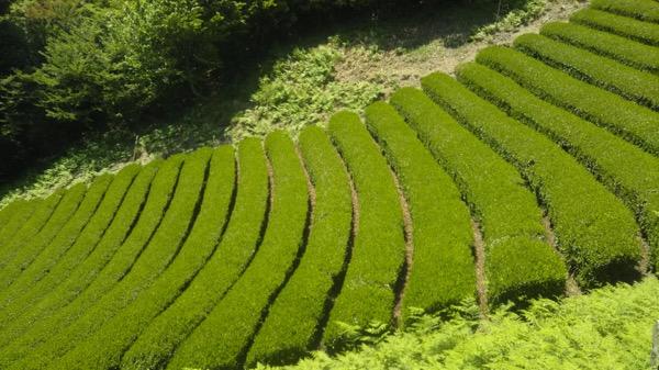 「一番摘み煎茶 駿河 内匠」が新茶になりました