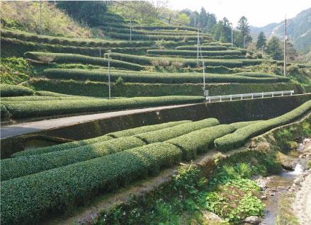 「一番摘み煎茶 土佐 東津野」が新茶になりました